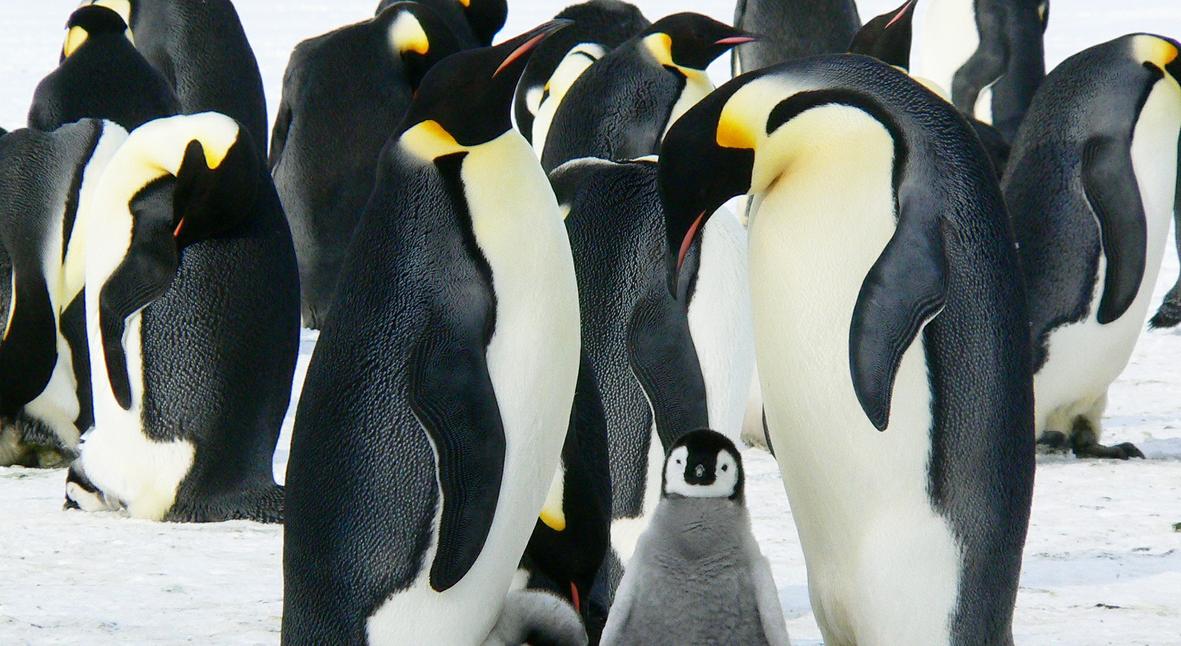 Salt: главное здесь, остальное по вкусу - Однополая пара пингвинов усыновила яйцо в зоопарке Берлина