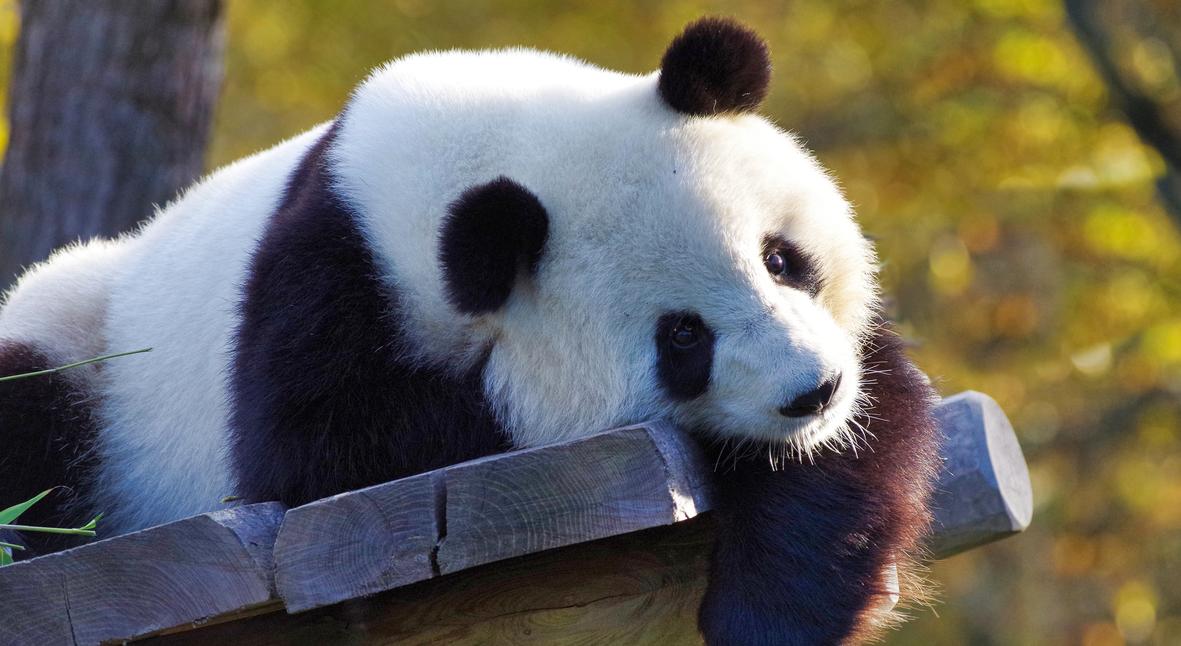 Salt: главное здесь, остальное по вкусу - В Берлинском зоопарке панда Мэн Мэн родила двойню