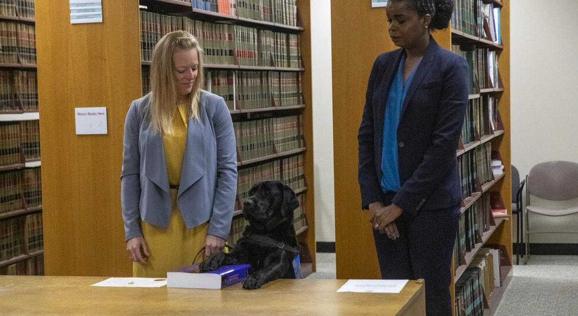 Salt: главное здесь, остальное по вкусу - Лабрадор Хэтти принесла присягу в офисе прокурора Чикаго — она будет помогать жертвам преступлений