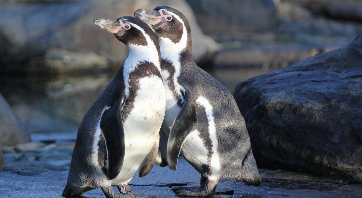 Salt: главное здесь, остальное по вкусу - Однополая пара пингвинов в Австралии усыновила второе яйцо