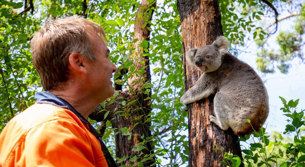 Salt: главное здесь, остальное по вкусу - Спасенных во время австралийских пожаров коал начали возвращать в дикую природу