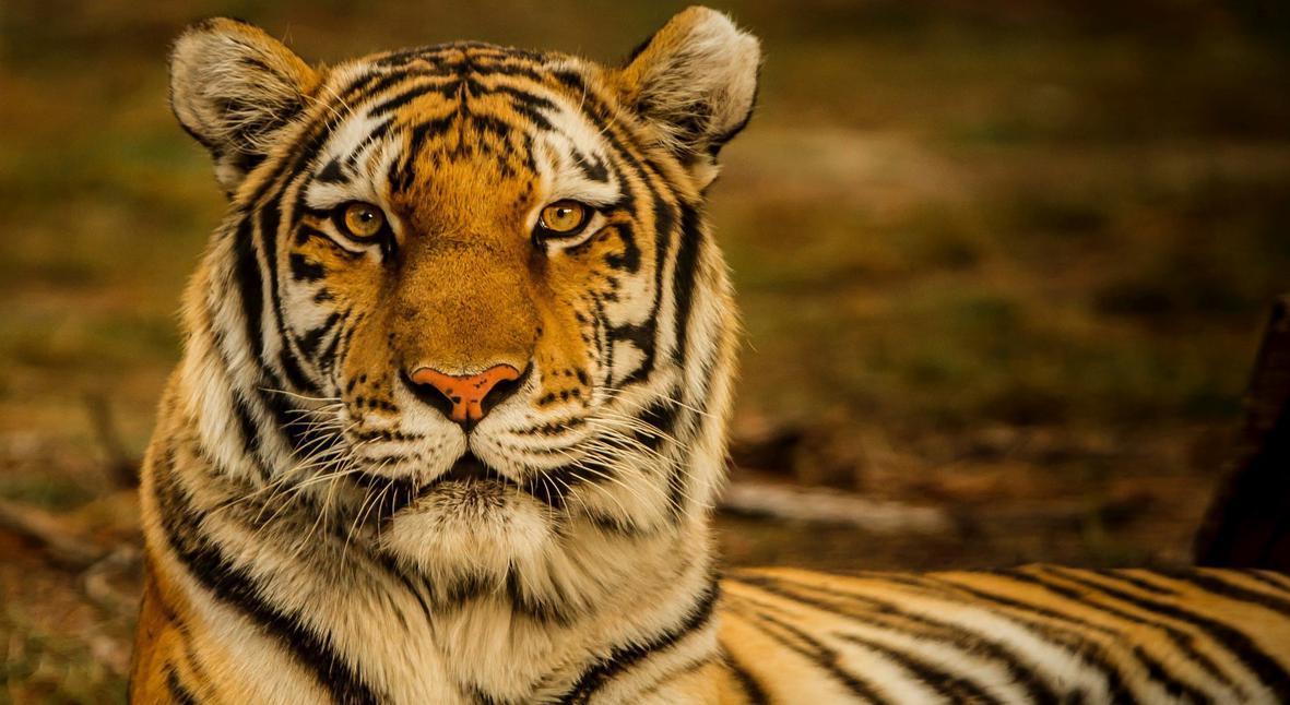 Salt: главное здесь, остальное по вкусу - Тигрица Надя из зоопарка в Нью-Йорке заразилась коронавирусом