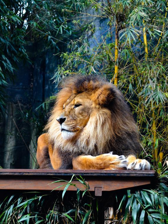 Salt: главное здесь, остальное по вкусу - Еще четыре тигра и три льва из нью-йоркского зоопарка заразились коронавирусом