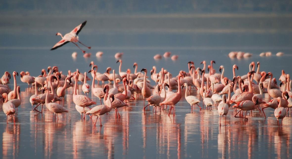 Salt: главное здесь, остальное по вкусу - Тысячи фламинго наводнили опустевший из-за коронавируса индийский город