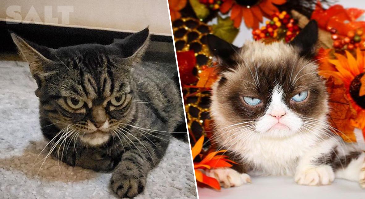 Salt: главное здесь, остальное по вкусу - В Сети нашли новую Grumpy Cat — и она выглядит еще угрюмей!