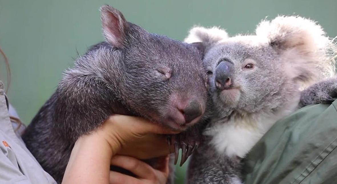 Salt: главное здесь, остальное по вкусу - «Это очень необычно»: коала и вомбат подружились в закрытом на карантин зоопарке