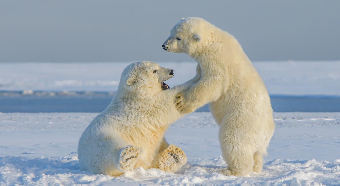 Salt: главное здесь, остальное по вкусу - Белые медведи могут полностью исчезнуть к концу века из-за глобального потепления