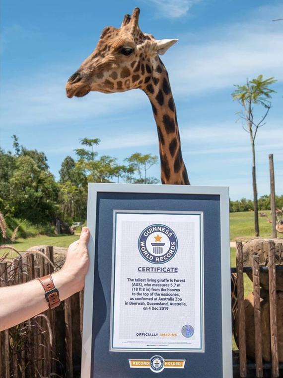 Salt: главное здесь, остальное по вкусу - Австралийского жирафа Фореста признали самым высоким в мире
