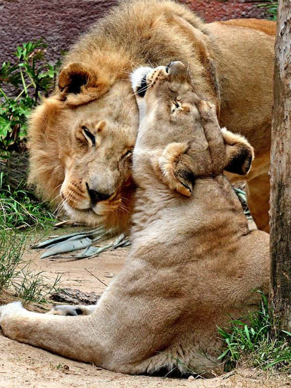 Salt: главное здесь, остальное по вкусу - В зоопарке Лос-Анджелеса пожилую пару львов усыпили вместе. Шесть лет они были неразлучны