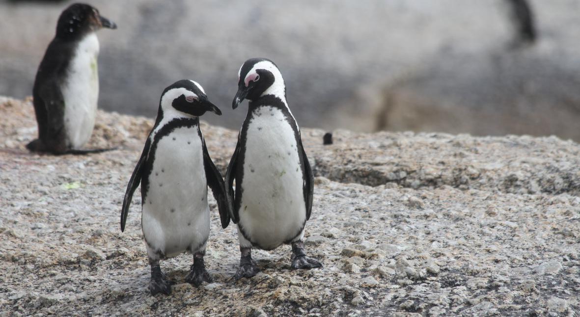 Salt: главное здесь, остальное по вкусу - Внук Жак-Ива Кусто предсказал скорое исчезновение пингвинов в Антарктиде