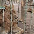 В зоопарке Судана неделями голодают львы — в соцсетях требуют спасти животных